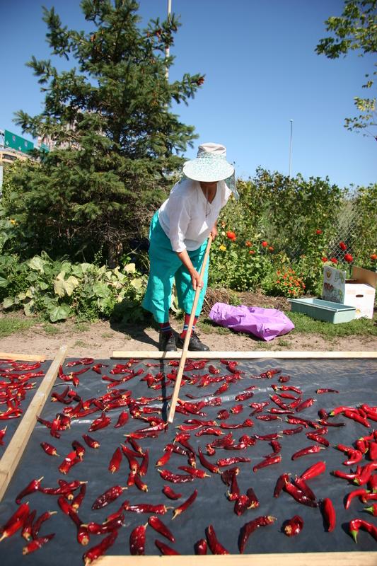 Harvesting Kochu (Goh-Choo), 2005