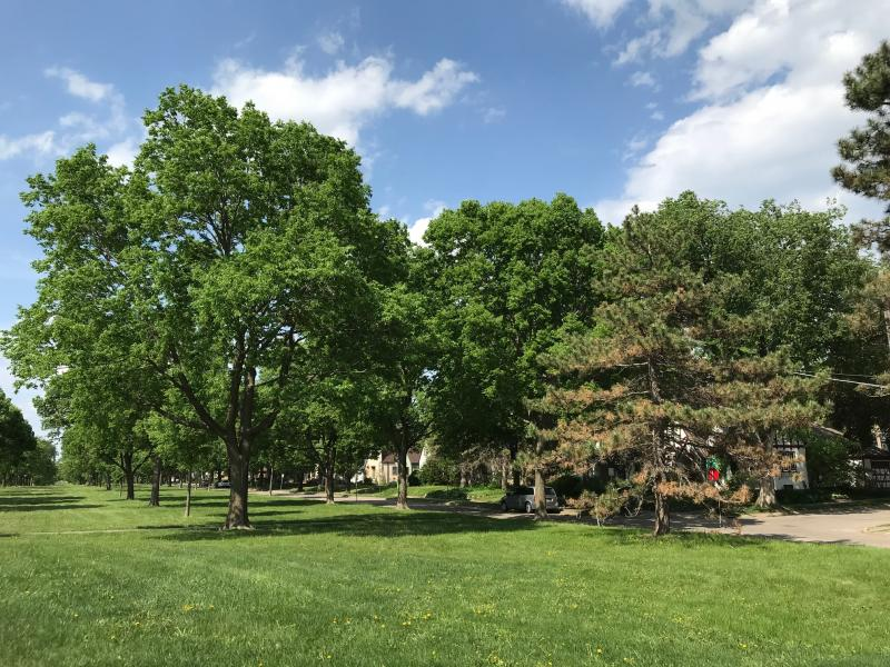 Elm Trees planted at Victory Memorial Drive